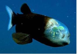 Barrel Eye - a deep sea fish.