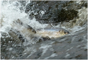 River herring migrating upstream.