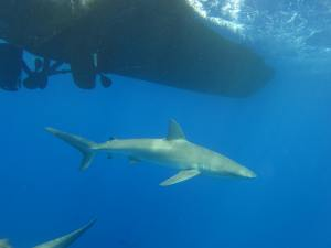 "We could not find ""all sharks likely to be found in America Samoa"" but here is one of our favorites, the Galapagos Shark!"