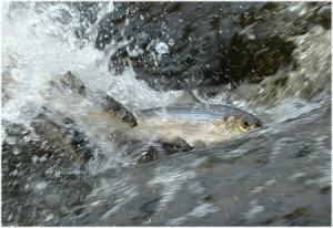 River herring migrating upstream. Photo credit: Tim & Doug Watts
